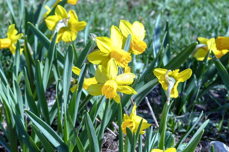 Yellow Narcissus - daffodil on a green background, Spring flower narcissus daffodil blooming in april and may , close-up in the royalty free stock image