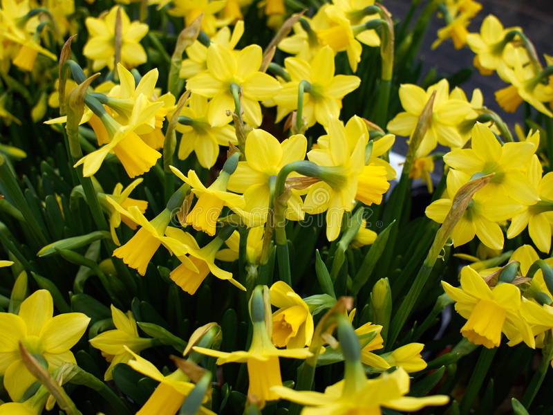 Yellow Narcissus Daffodils stock images