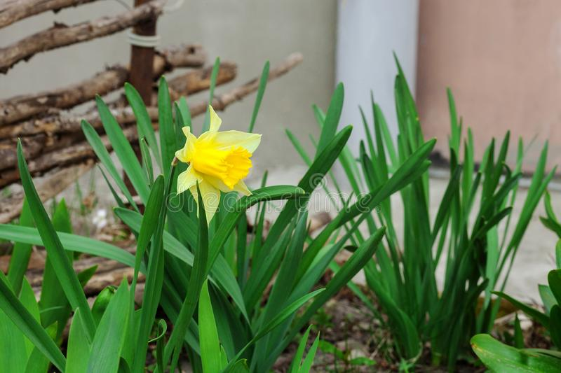 Yellow Narcissus flower growing in spring garden stock photography