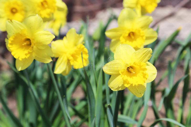Yellow narcissus. Flowers in the garden stock photos