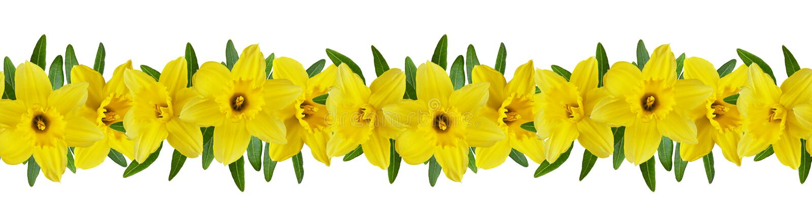 Yellow narcissus flowers in a seamless line floral pattern. Isolated on white stock photography