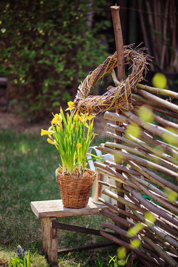 Yellow narcissus in pot, osier wicker fence and tools in early spring garden stock photography