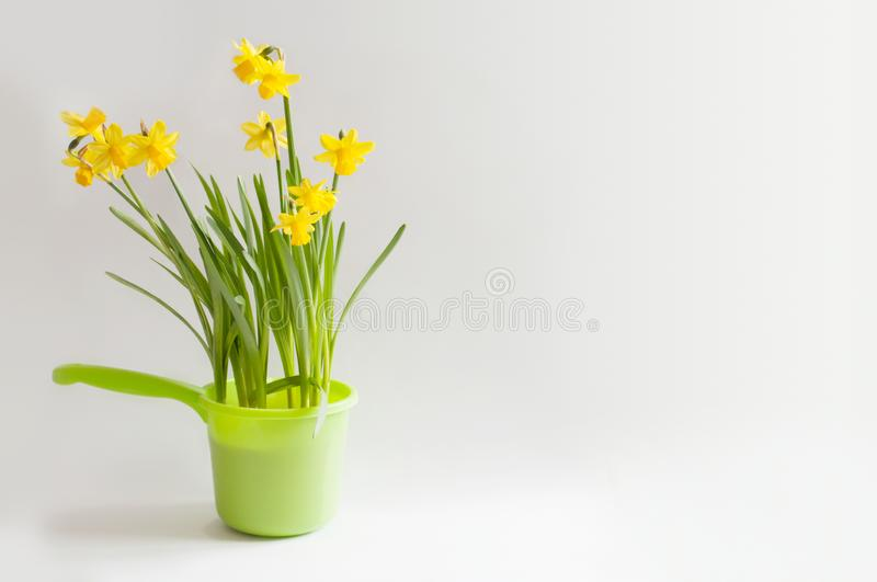 Yellow narcissuses in a bright green bailer. Yellow young narcissuses in a green bailer on a white background stock photos