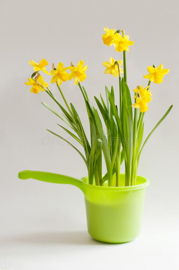 Yellow narcissuses in a bright green bailer. Yellow young narcissuses in a green bailer on a white background. Vertical image royalty free stock photos