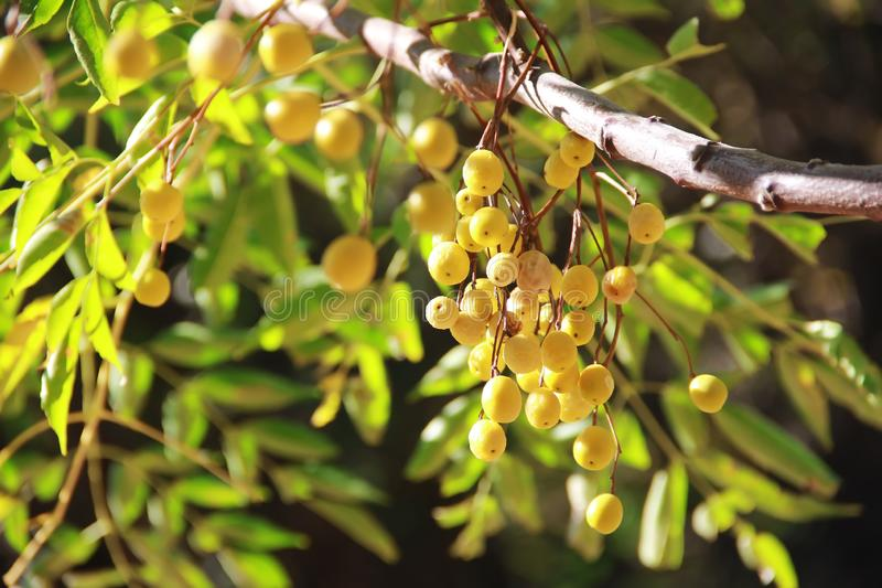 Yellow natural autumn berries sea buckthorn, mountain ash, physalis on a branch. Yellow natural autumn berries sea buckthorn, mountain ash, physalis on branch stock images