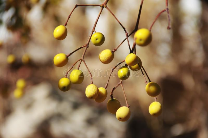 Yellow natural autumn berries sea buckthorn, mountain ash, physalis on a branch. Yellow natural autumn berries sea buckthorn, mountain ash, physalis on branch royalty free stock photo