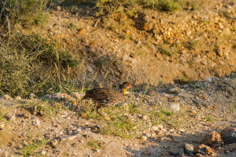 Yellow-necked Francolin Pternistis leucoscepus spurfowl. On the dry grass of the Brown-ground Samburu National Reserve Kenya East Africa side profile stock image