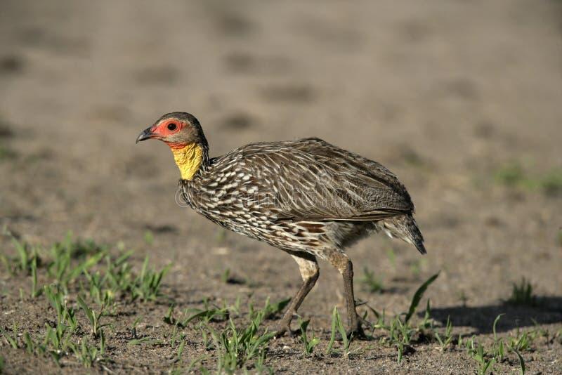 Yellow-necked spurfowl, Pternistis leucoscepus. Single bird on ground, Tanzania stock image