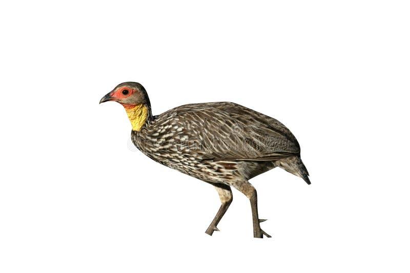 Yellow-necked spurfowl, Pternistis leucoscepus. Single bird on ground, Tanzania royalty free stock image