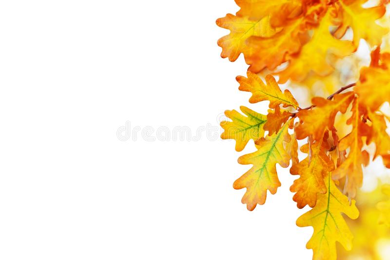 Yellow oak leaves on white background isolated close up, autumn golden foliage decorative border, fall oak tree branch frame royalty free stock photography