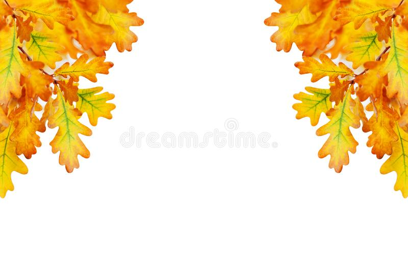Yellow oak leaves on white background isolated close up, autumn golden foliage decorative border, fall oak tree branch frame royalty free stock photos