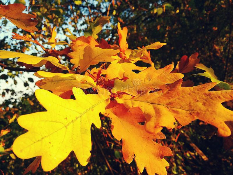 Yellow oak leaves. In the forest autumn stock image
