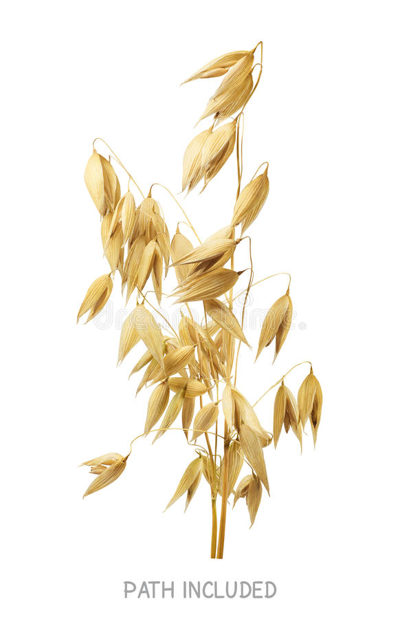 Yellow oat head 2 isolated on white background royalty free stock images