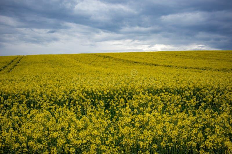 Yellow oilseed rape field under dramatic sky royalty free stock photo
