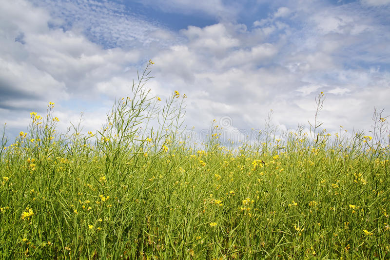 Yellow oilseed rape at summer with blue sky