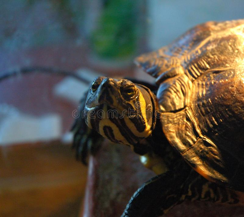 Yellow-olive turtle details picture. royalty free stock images