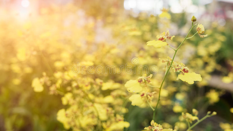 yellow Oncidium orchid flower background wallpaper royalty free stock images