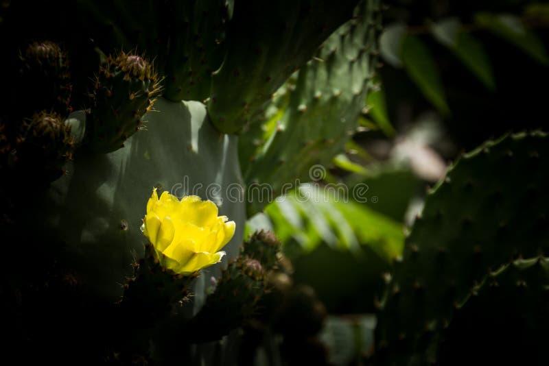Yellow opuntia. In dark background royalty free stock image