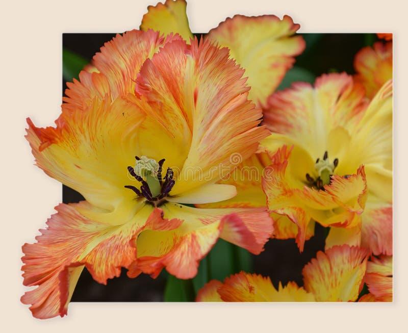 Yellow-orange παπαγάλος Caribbeab τουλιπών άνθισης Σπάνια ποικιλία Αποκαλυφθείς οφθαλμός κλείστε επάνω στοκ φωτογραφία με δικαίωμα ελεύθερης χρήσης