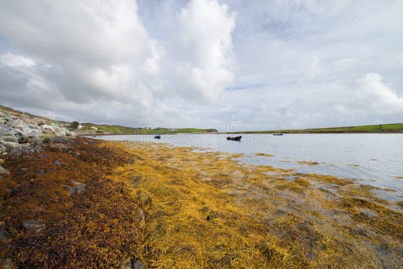 Yellow orange algae growing on rocks at Clifden Harbour in Connemara, County Galway, Ireland stock photos