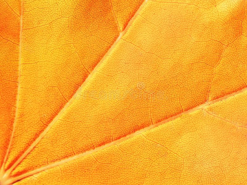 Yellow and orange background, maple leaf, macro, close-up. Abstract bright background with dots royalty free stock images