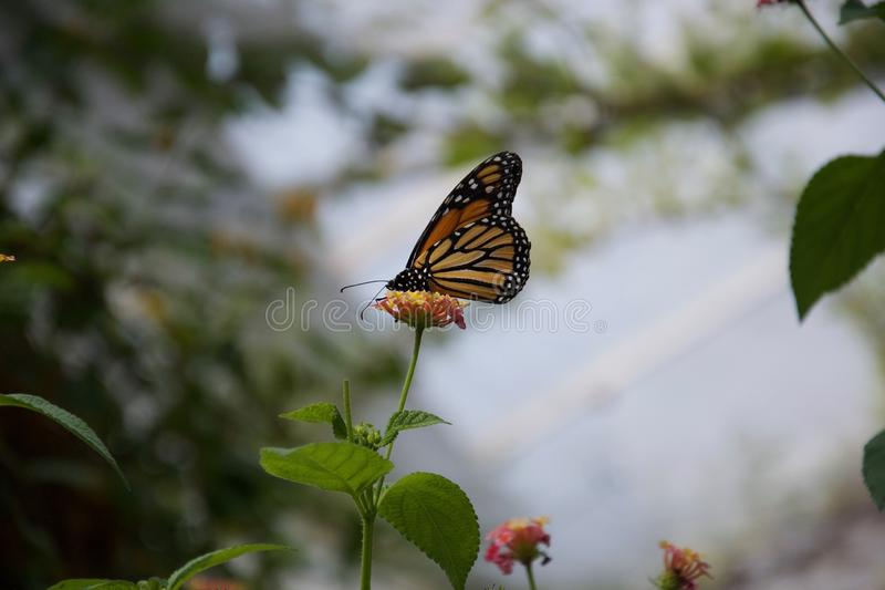 A yellow, orange and black butterfly with closed wings sitting on top of a flower. A yellow, orange and black butterfly sits on a pink and yellow flower. Its royalty free stock photography