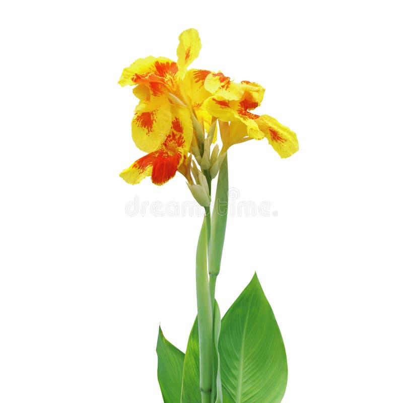 Yellow Orange Canna Lily Plant Flower Isolated on White Background royalty free stock photo
