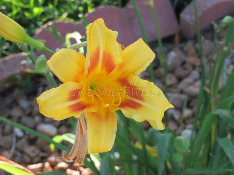 Yellow and orange Daylily flower stock images