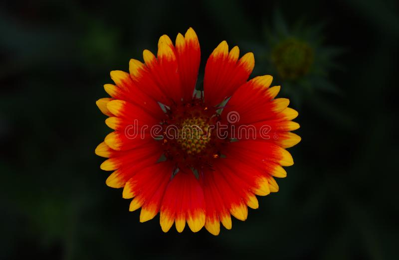 Yellow and orange flower head of rudbeckia black-eyed susan. Natural, botany. stock photography
