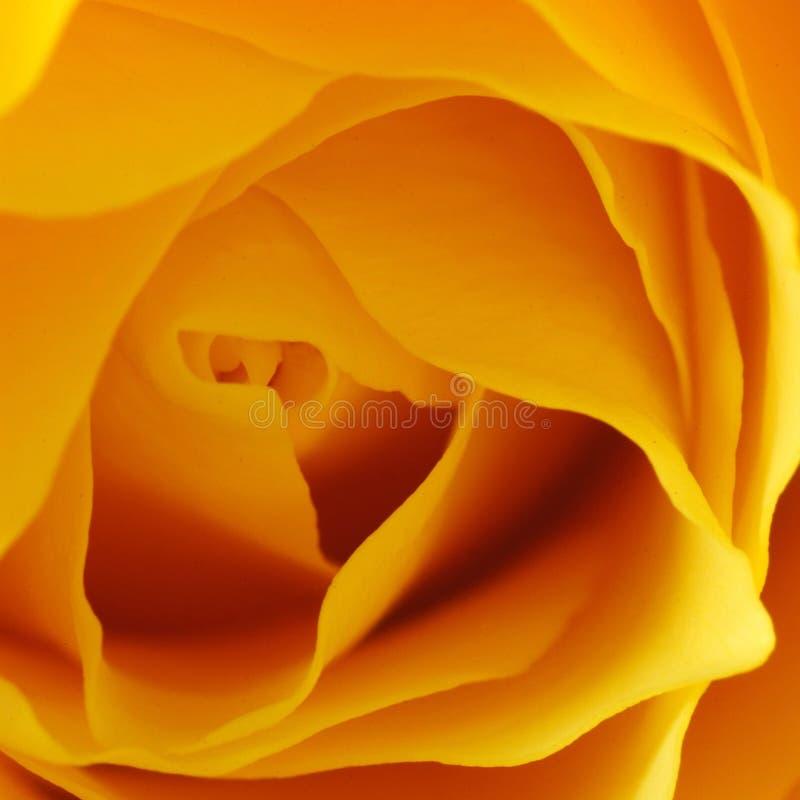 Yellow, Orange, Flower, Rose Family stock images