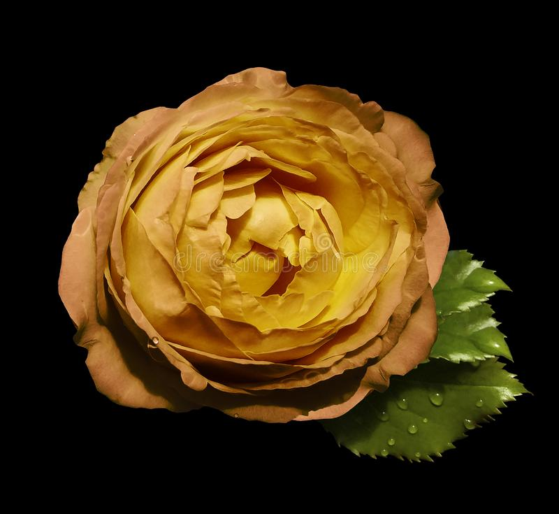 Yellow-orange flower roses on the black isolated background with clipping path no shadows. Rose with green leaves. For desig stock images