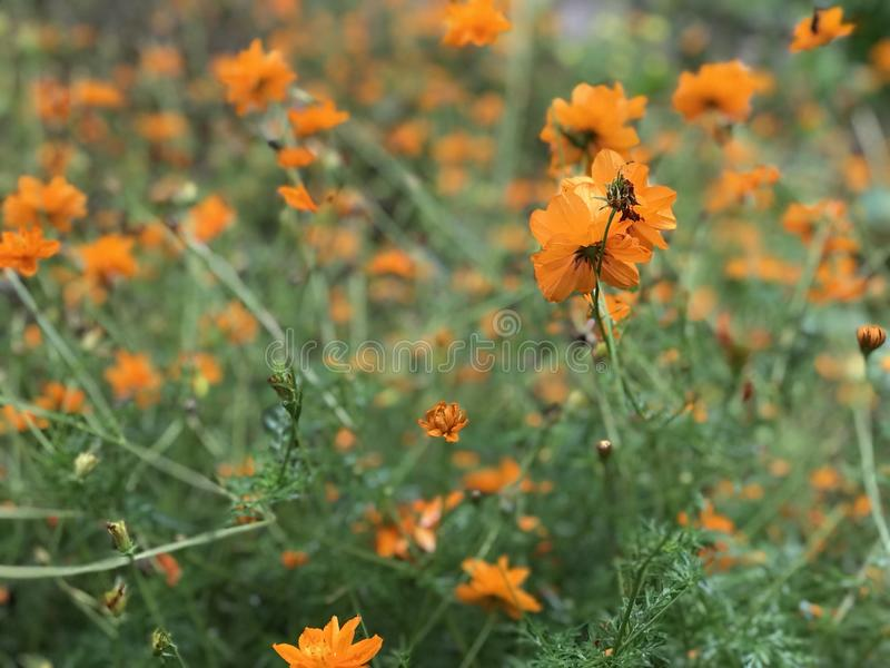 Yellow orange flowers royalty free stock photo