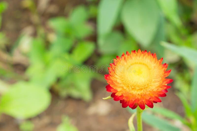 Yellow and orange flowers or Helichrysum bracteatum in garden. stock images