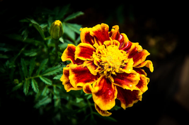 Yellow and orange marigolds backgroung. Yellow and orange marigolds in the garden of outstanding natural beauty royalty free stock photography