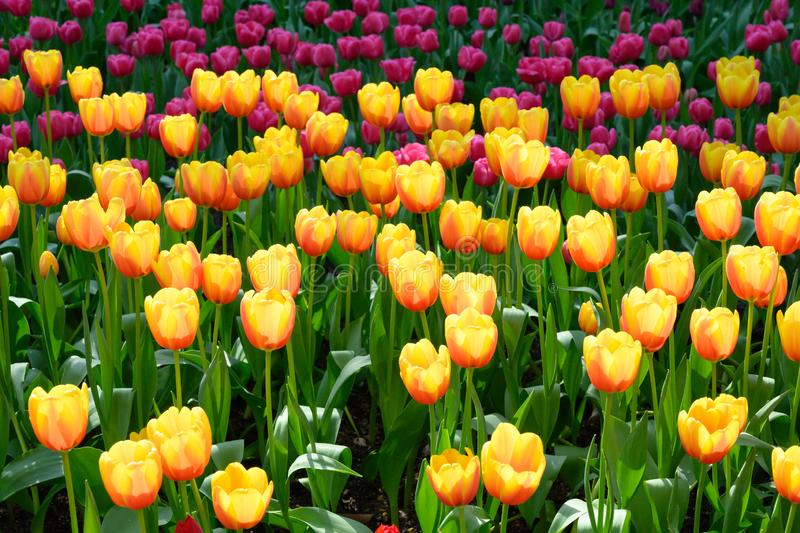 Yellow orange and pink tulips in Flowerbed, flowering yellow tulips in spring royalty free stock image