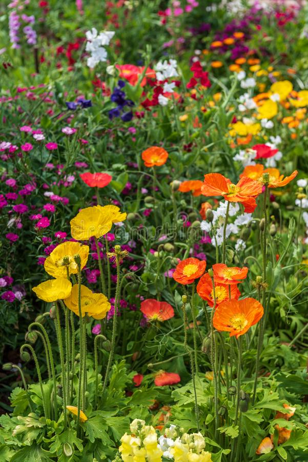 Yellow and orange poppy flowers royalty free stock photos