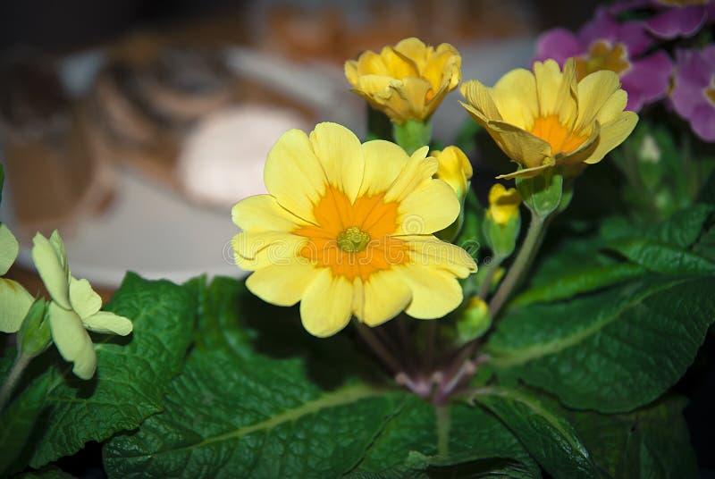 Yellow orange primrose with leaves royalty free stock image