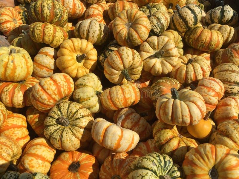 Yellow and orange pumpkins royalty free stock photo
