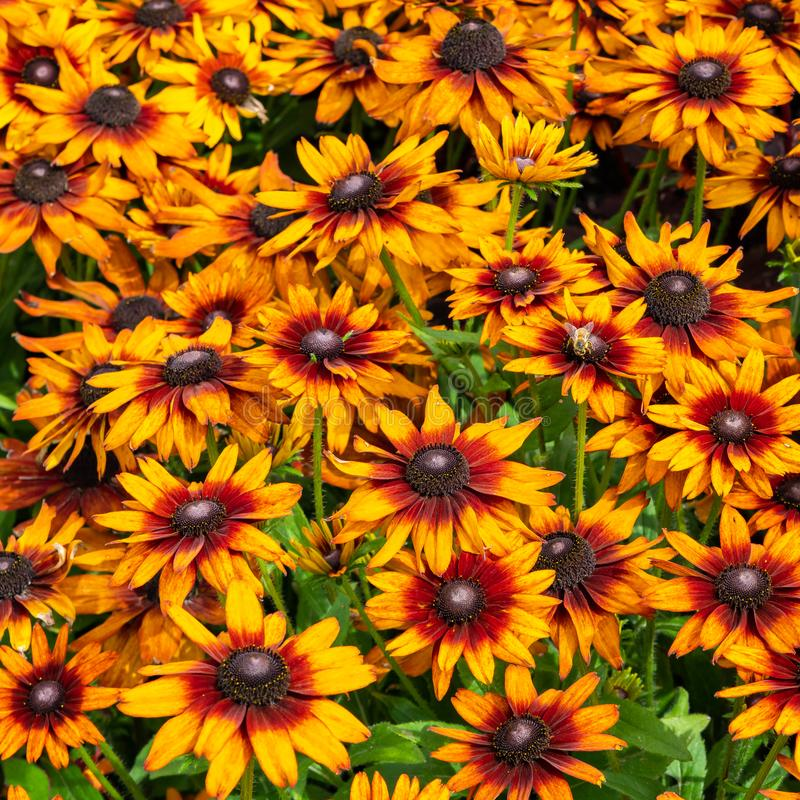 Yellow, orange and purple coneflower blooming in the garden royalty free stock photo