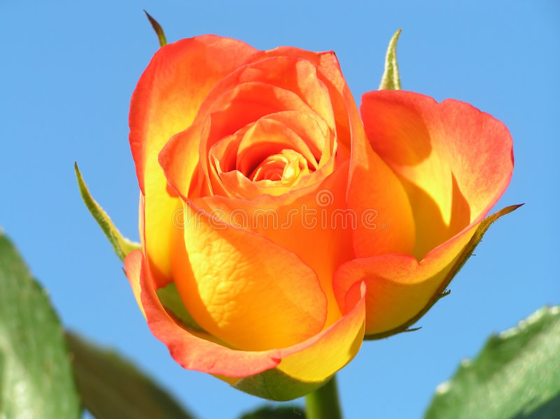 Yellow and orange rose stock photo