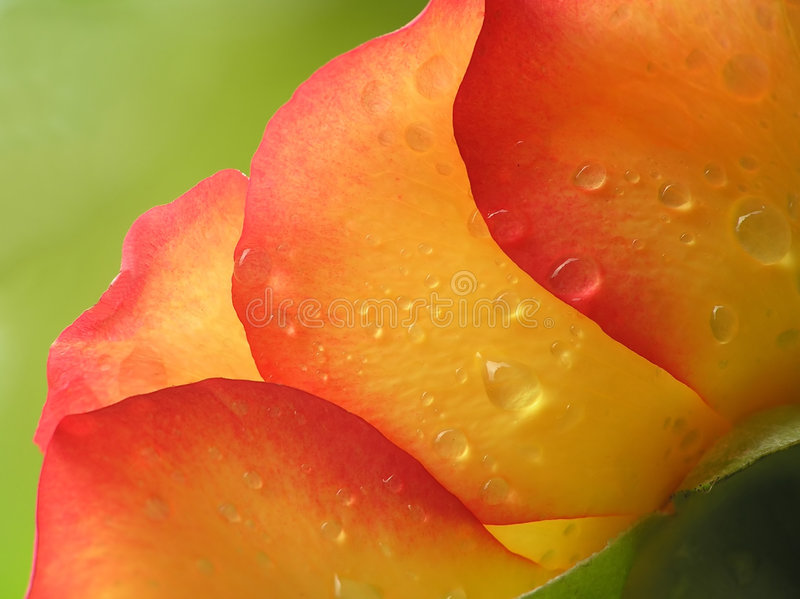 Yellow and orange rose royalty free stock photo