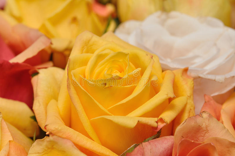 Yellow and orange roses stock images