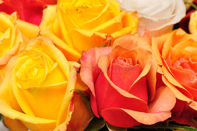 Yellow and orange roses stock photos