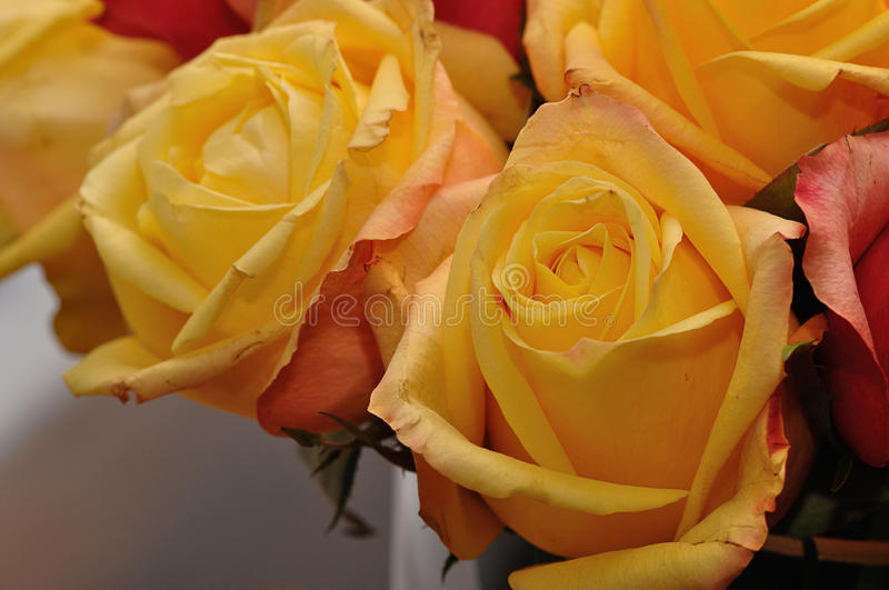 Yellow and orange roses stock photography