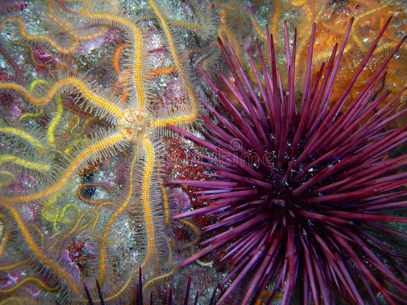 Yellow and orange Spiny Brittle Star and a Purple Sea Urchin stock image