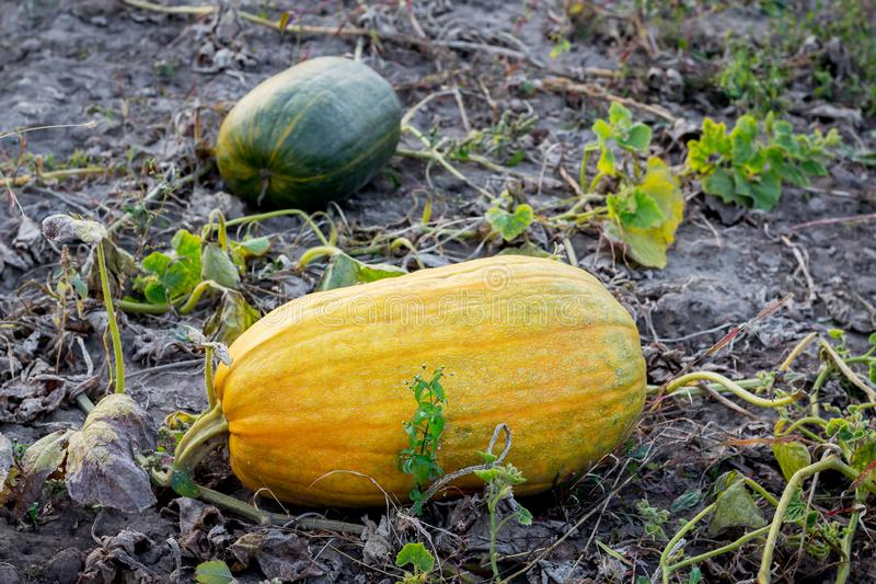 Yellow and orange squashs on the field of the farm, a pumpkin harvest_. Yellow and orange squashs on the field of the farm, a pumpkin harvest stock photos