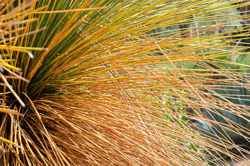Yellow-orange tall grass grows in a bunch. Close-up, selective focus, natural background stock image