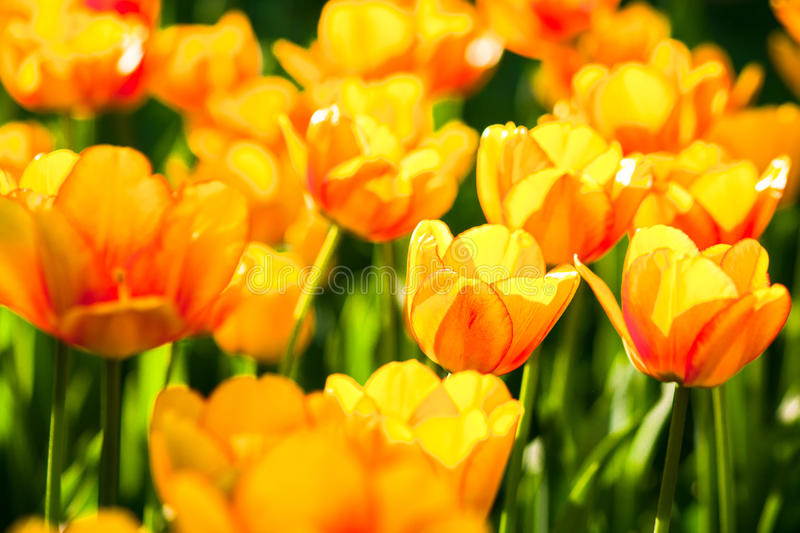 Yellow and orange tulip flowers on a flowerbed. Against the background of green leaves and grass. Spring joy and beauty royalty free stock photo
