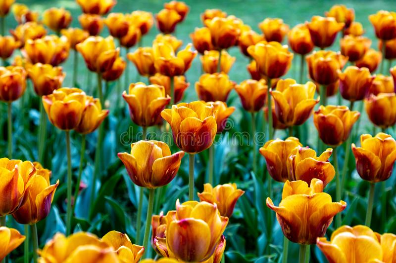 Yellow Orange Tulips on a flower bed royalty free stock images