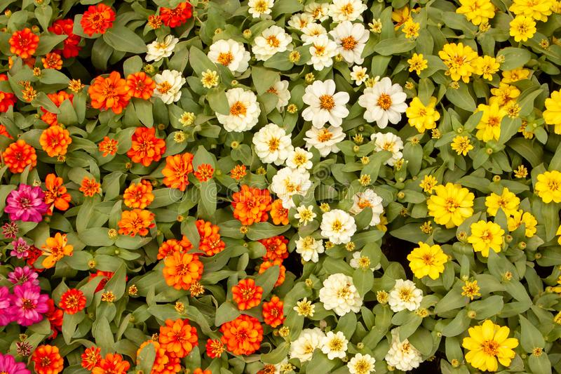 Yellow, orange and white petals of Narrowleaf Zinnia blooming on small bud and green leaves, know as Classic Zinnia stock photos